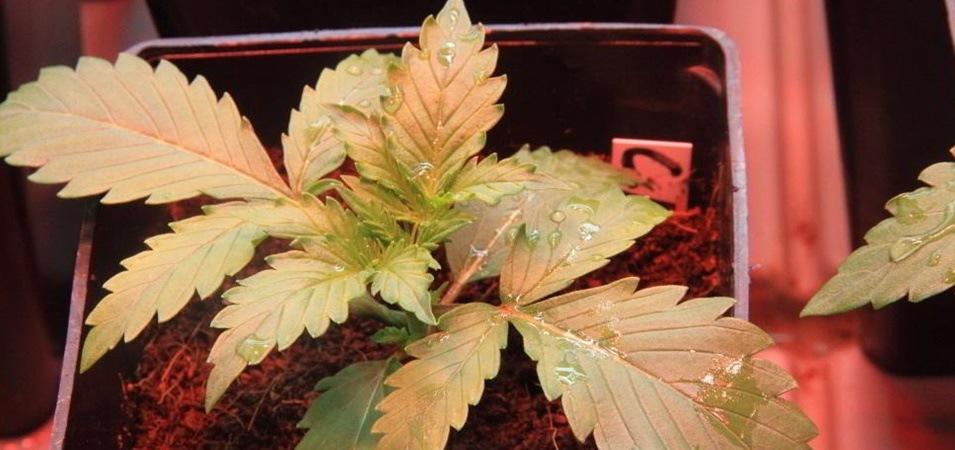Cómo cultivar variedades autoflorecientes de marihuana en exterior e interior.