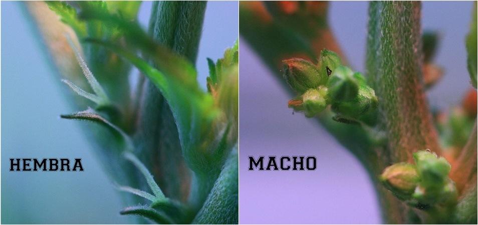 Cómo diferenciar una planta de marihuana macho de una planta hembra.