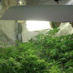 Cómo prevenir plagas y hongos en cultivos de marihuana