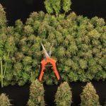 Cuándo y cómo cosechar marihuana. Cómo hacer la manicura y curar la planta