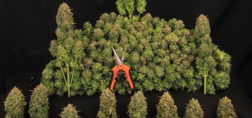 Cuándo y cómo cosechar marihuana. Cómo hacer la manicura y curar la marihuana del cultivo. ¡Todas las claves!