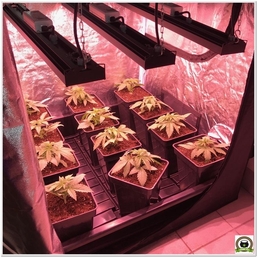 Seguimiento marihuana LED Kappa 100W 1