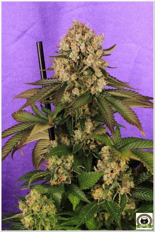La mayor producción en un cultivo de marihuana realizada por toni13-Parte II-3