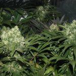 Mi primer cultivo de marihuana LEC 315W indoor paso a paso