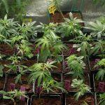 Guía cómo hacer esquejes de marihuana: Consejos y técnicas para el esquejado de marihuana y clonación