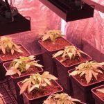 El crecimiento de marihuana mas rápido: Led Kappa Solux
