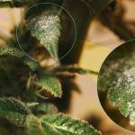Semillas de marihuana resistentes a la humedad (especial norte de España)