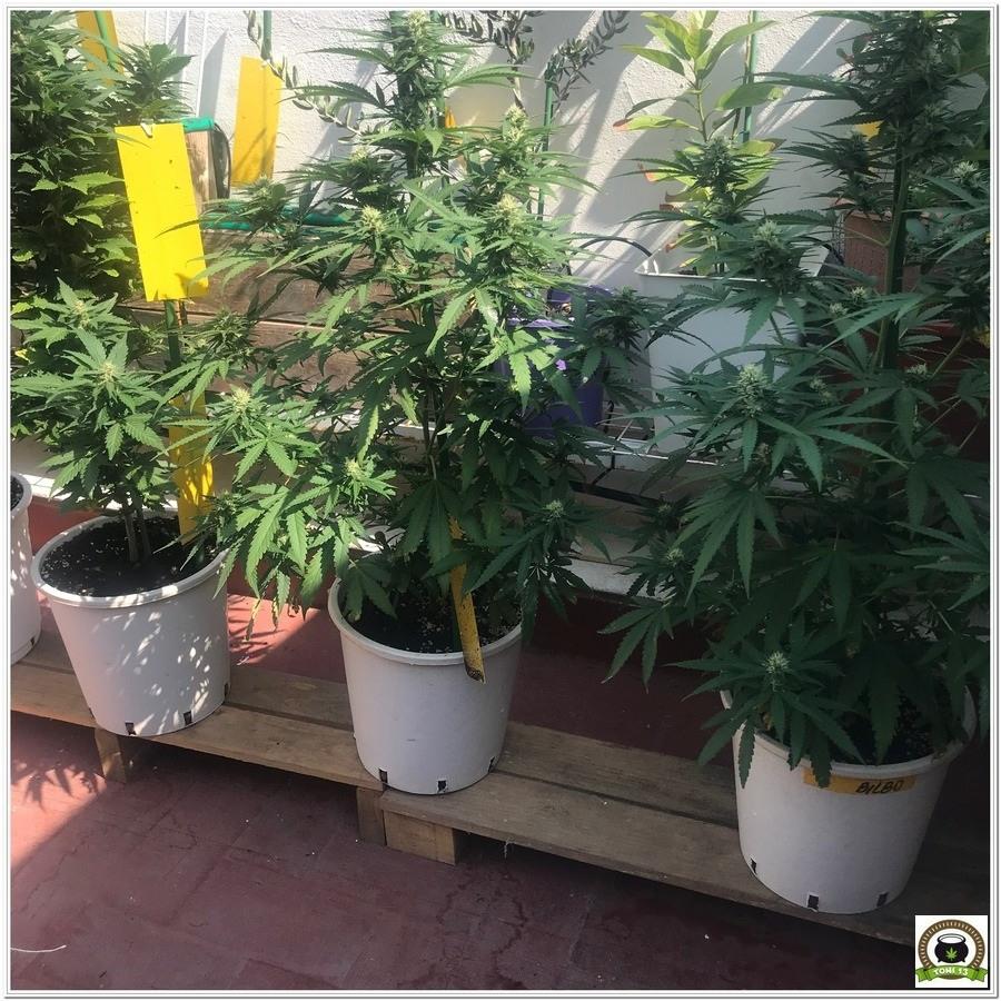 Trampas adhesivas cultivos marihuana