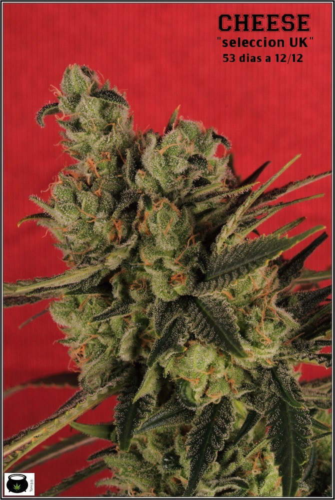 La mayor producción en un cultivo de marihuana realizada por toni13-Parte I-1