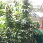 Cultivo marihuana LEC Low Cost con luminaria de 315W