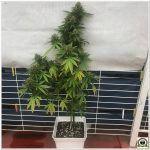 """Concurso mensual de semillas de marihuana gratis """"Acierta y Gana"""" de Noviembre"""