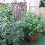 Cómo elegir la variedad de marihuana para el cultivo