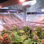 LEC+LED (Técnica de optimización lumínica para cultivos de marihuana)