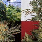 Cómo abonar plantas de marihuana con éxito sea cual sea tu fertilizante