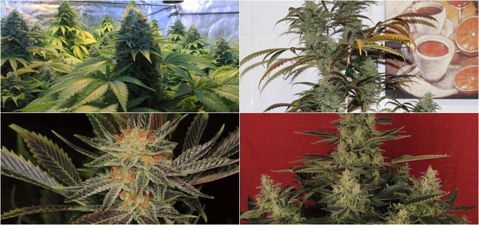Cómo abonar las plantas de marihuana con éxito. Abonar plantar marihuana.