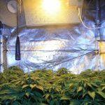 Cómo colocar y utilizar un ventilador grande en cultivos de marihuana