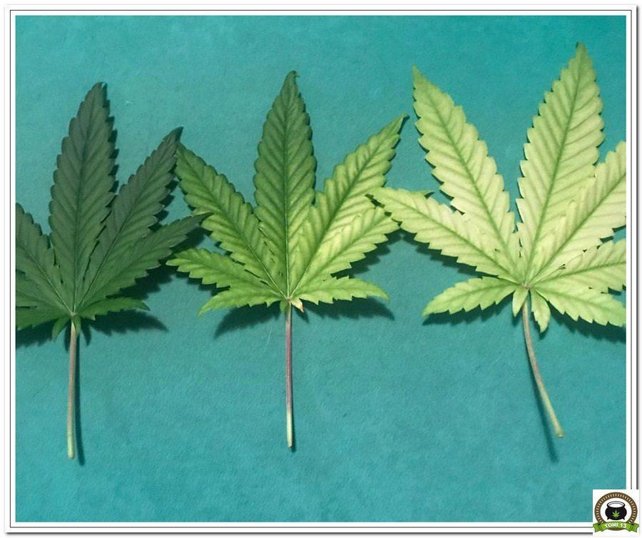 La mayor producción en un cultivo de marihuana realizada por toni13-Parte I-4