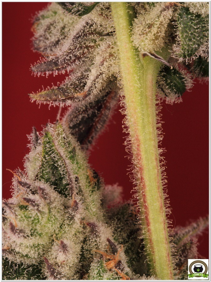 La mayor producción en un cultivo de marihuana realizada por toni13-Parte I-2