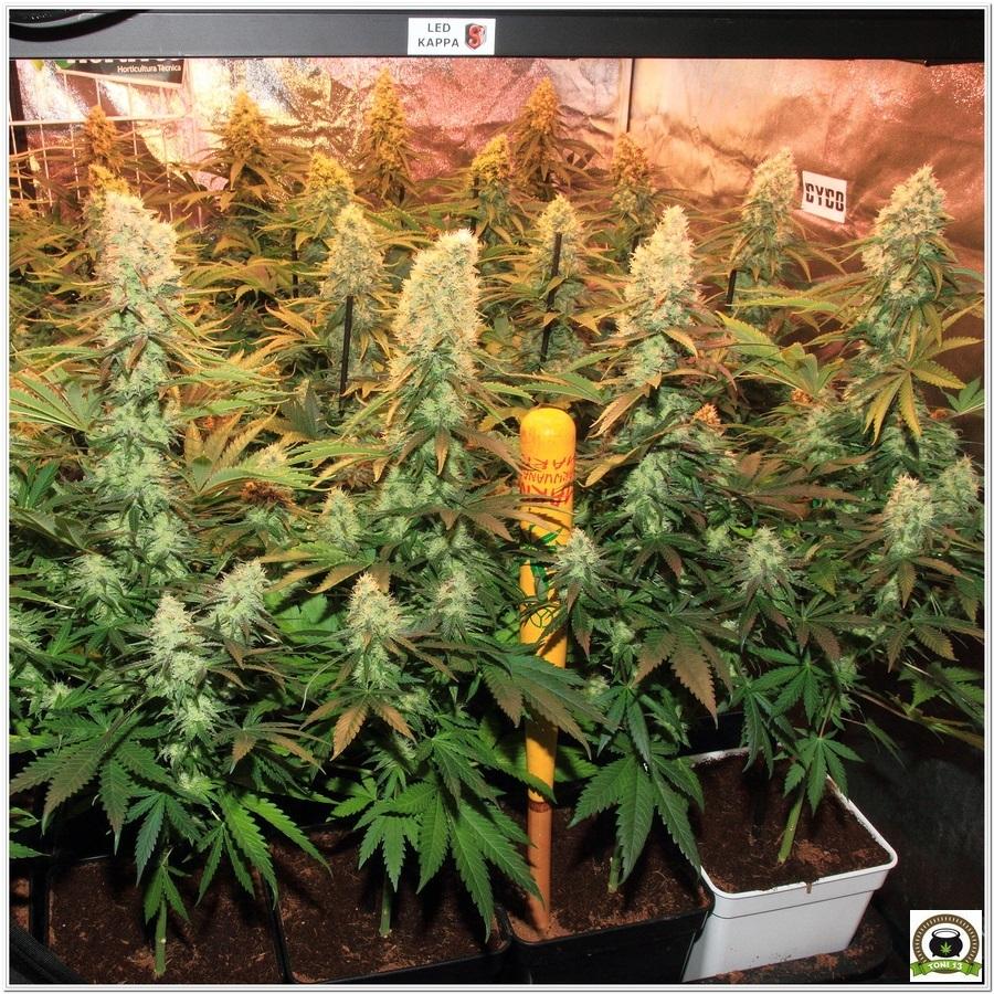 La mayor producción en un cultivo de marihuana realizada por toni13-Parte I-3