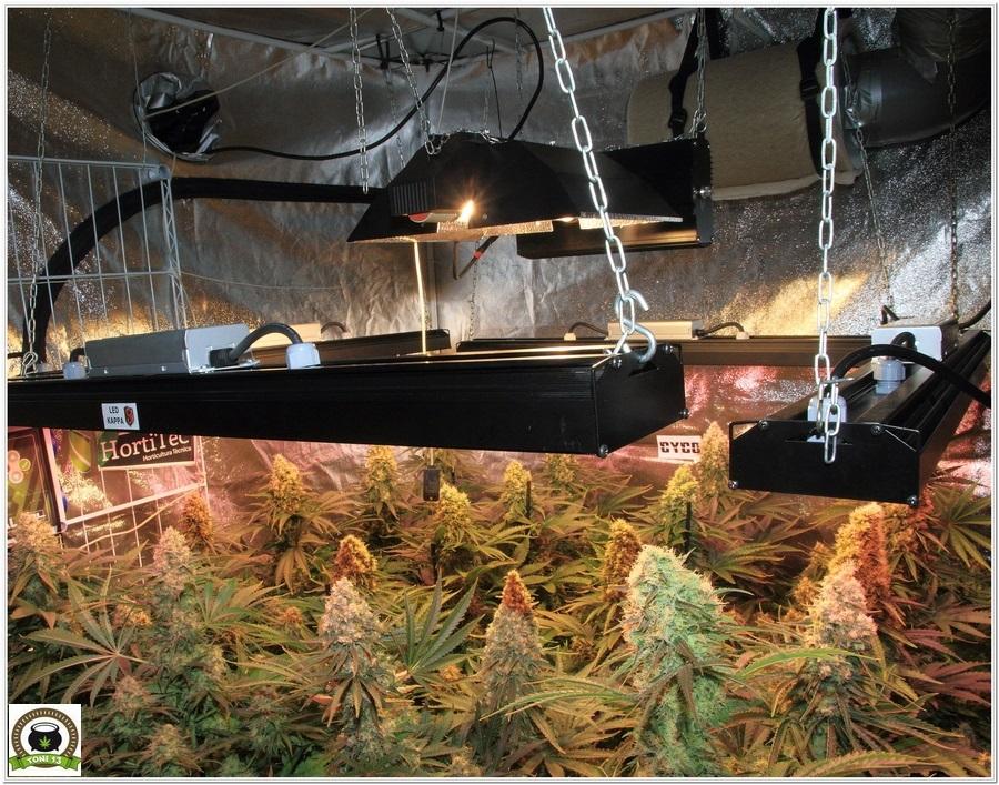 floracion marihuana interior led lec 3 maxima produccion