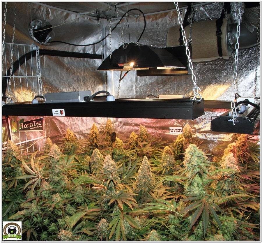 La mayor producción en un cultivo de marihuana realizada por toni13-Parte II-2