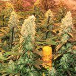 La mayor producción en un cultivo de marihuana realizado por Toni13 – Parte I