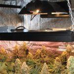 La mayor producción en un cultivo de marihuana realizada por Toni13 – Parte II