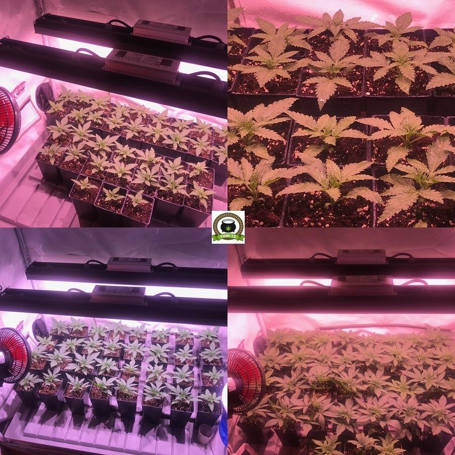 fase crecimiento de plantas cannabis interior en partes