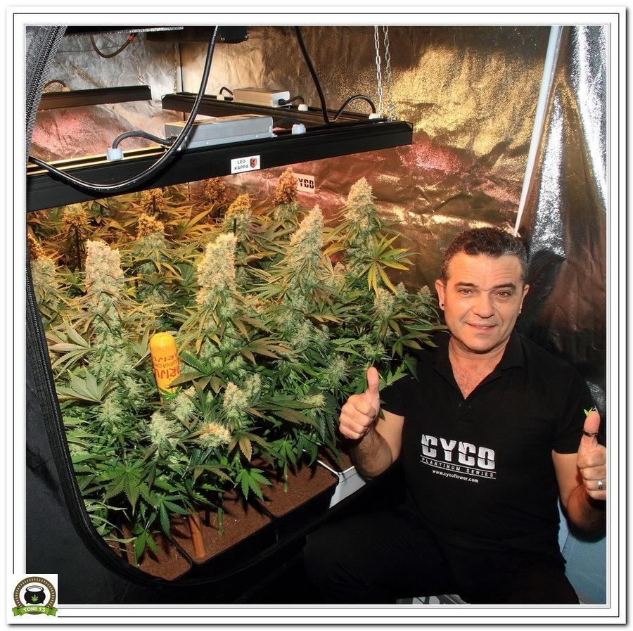 LEC 630w selecta II solux y LED Kappa cultivo de marihuana