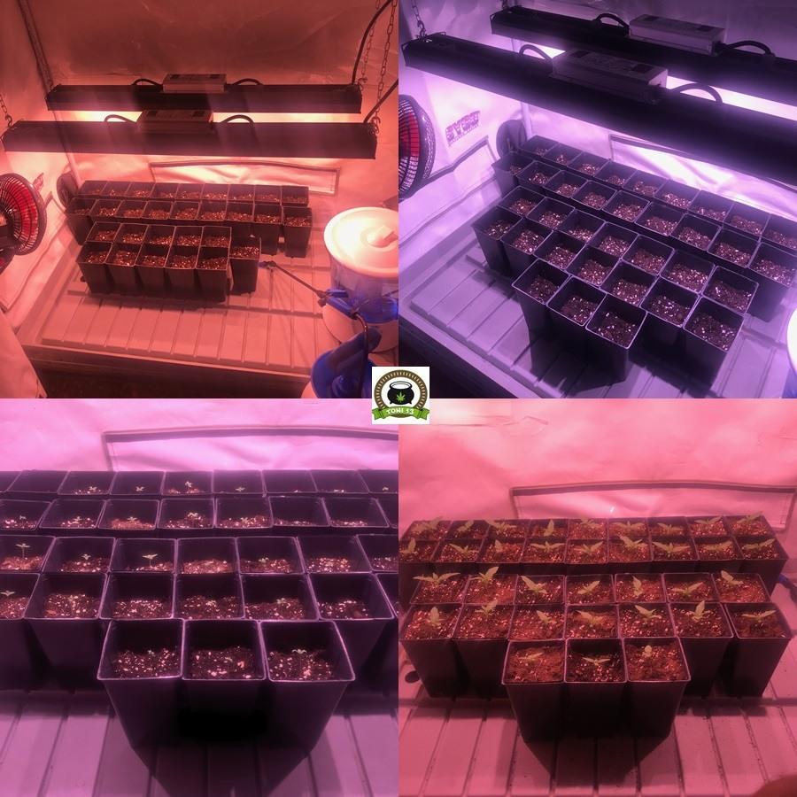 fases crecimiento cultivo marihuana interior cannabis