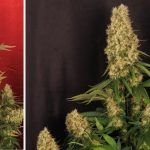 La mayor producción en un cultivo de marihuana realizada por toni13 – Parte V