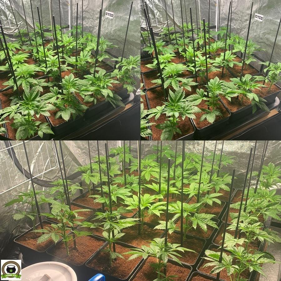fase crecimiento plantas de marihuana armario interior cyco solux led lec