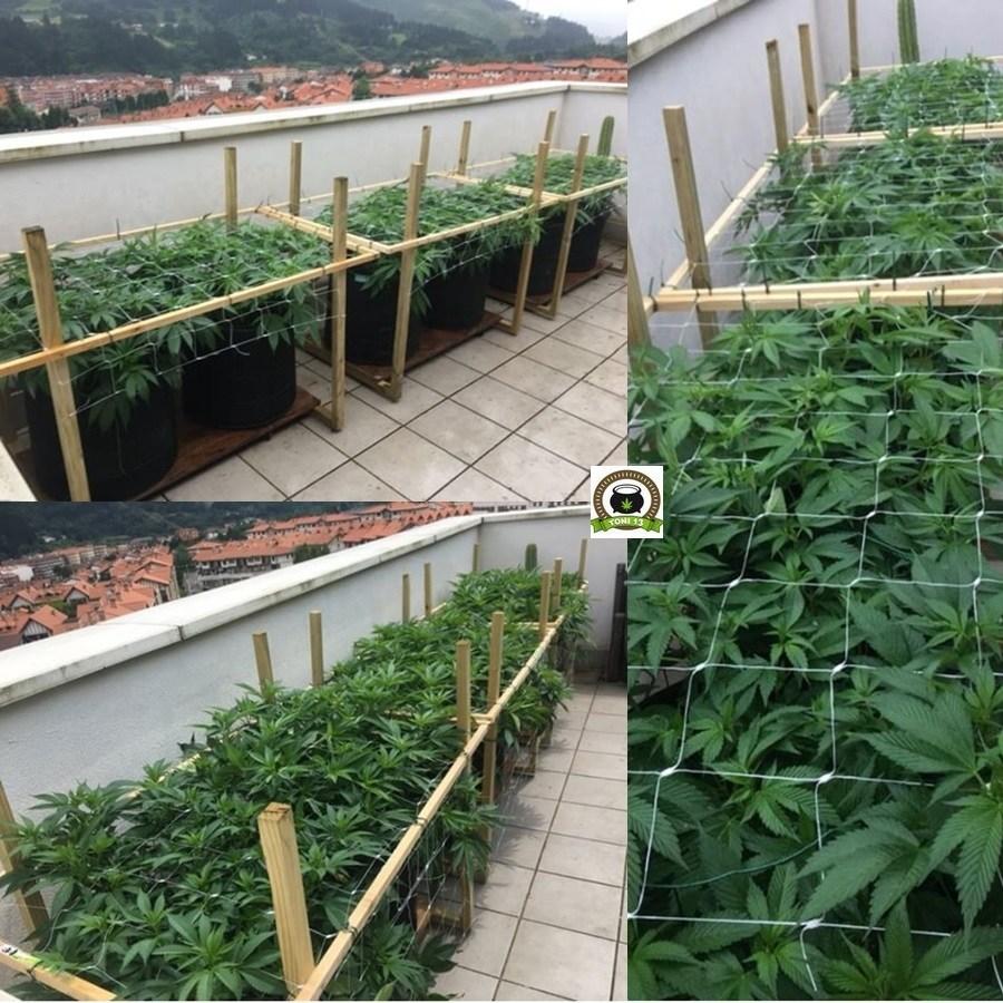 Cultivo SCROG de marihuana en terraza 2