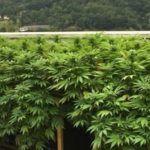 Cómo hacer un SCROG de marihuana en terraza