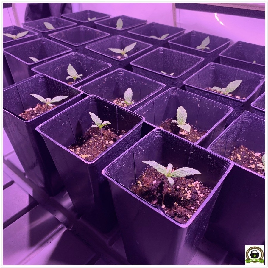 plantulas de marihuana led