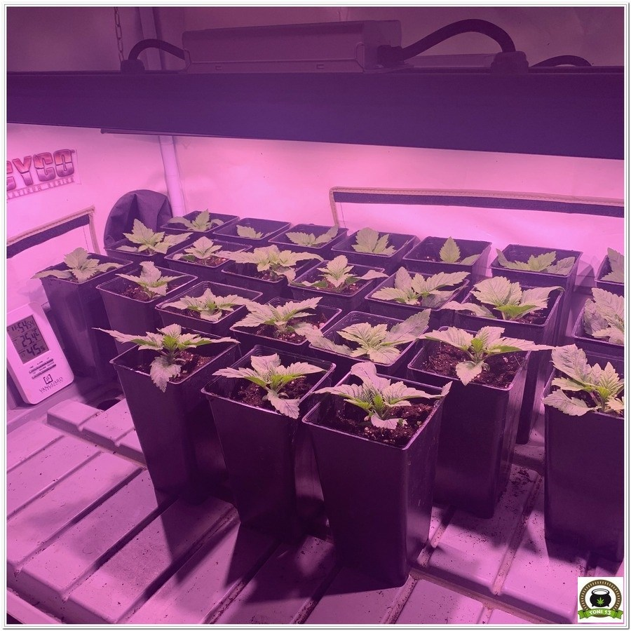 plantulas marihuana femicopia led crecimiento