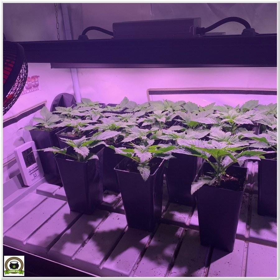 plantas cannabis crecimiento led