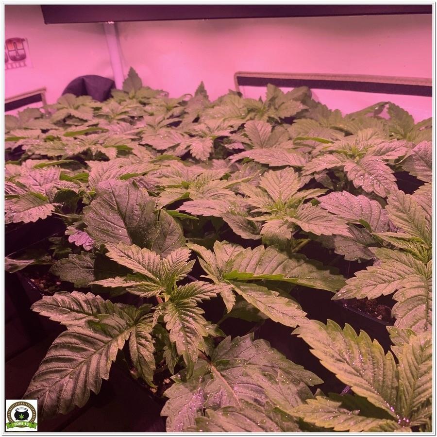 crecimiento marihuana paso a paso manto verde led