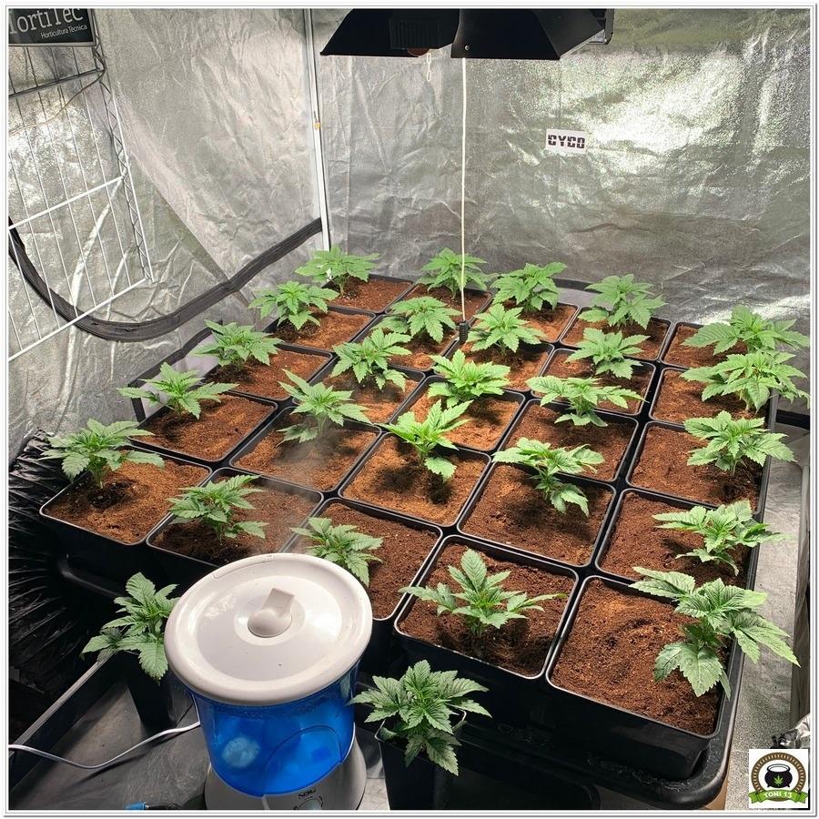 cuarto de cultivo de marihuana en crecimiento 18 6 con humidificador lec led