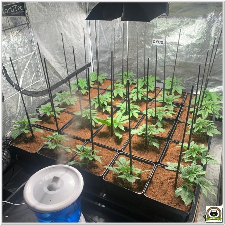 trasplante de plantas de cannabis interior led lec