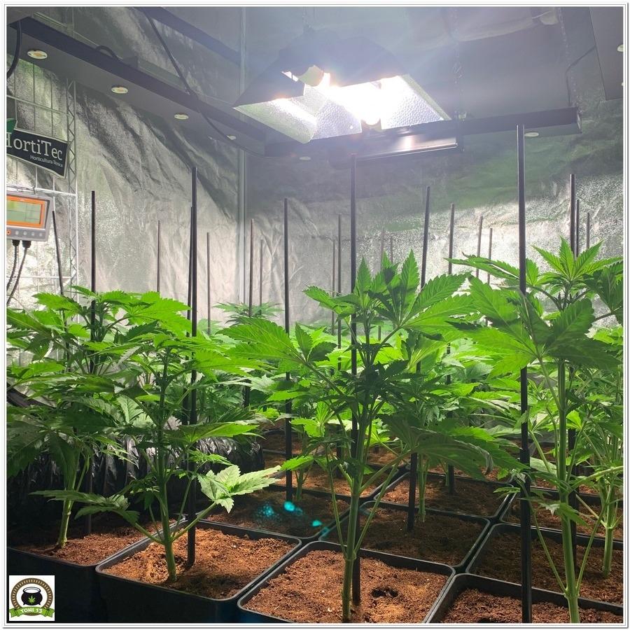 LEC encendido en cultivo de marihuana interior