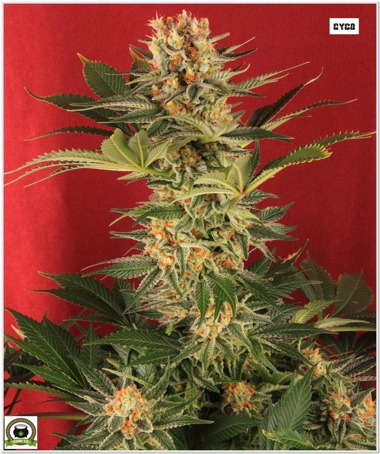 planta marihuana cultivada LEC selecta Solux