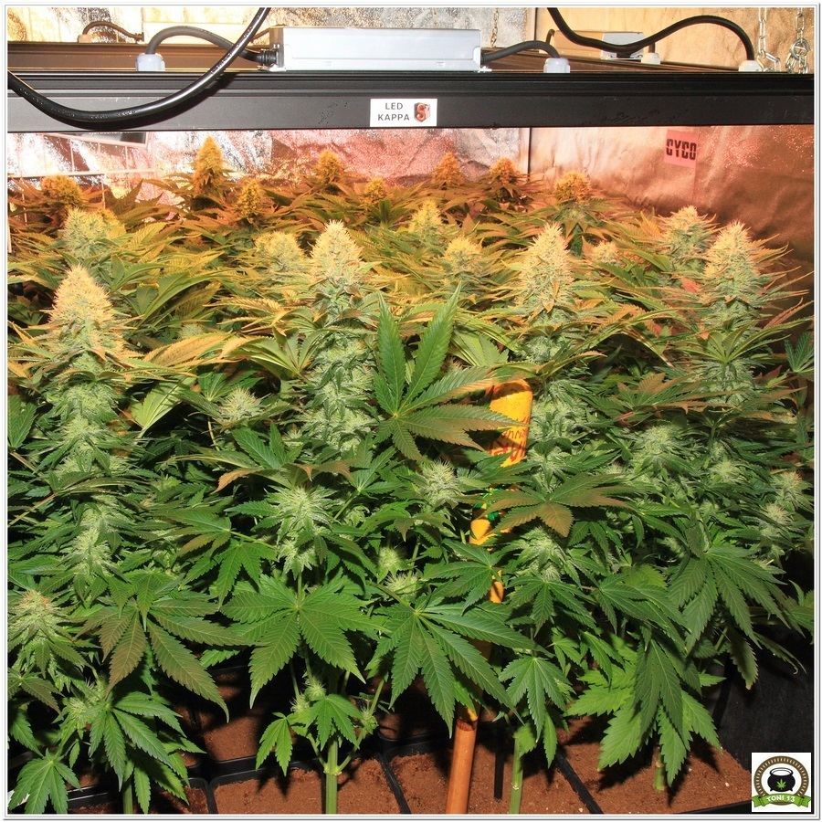 Cultivo indoor marihuana led lec solux