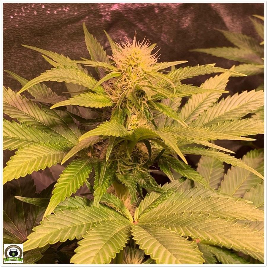 planta de marihuana cultivo indoor floracion 5 semana