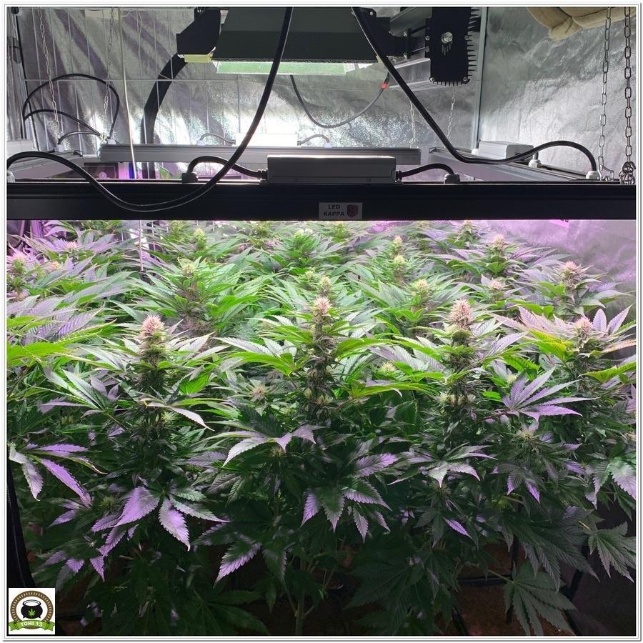 cultivo indoor marihuana armario grande dark box