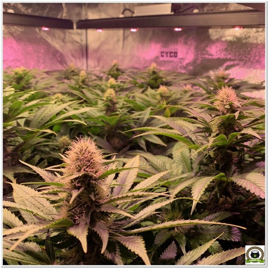 SOG cultivo indoor armario grande cannabis
