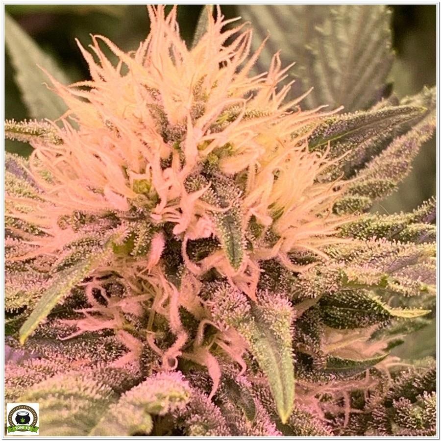 cogollo en floracion cultivo indoor