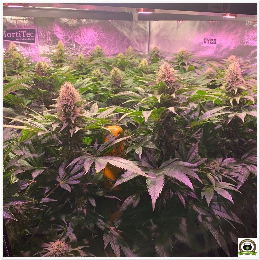 seguimiento de marihuana LEC+LED cultivo indoor