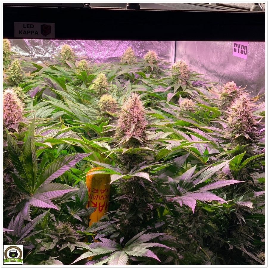 Seguimiento LEC+LED de marihuana