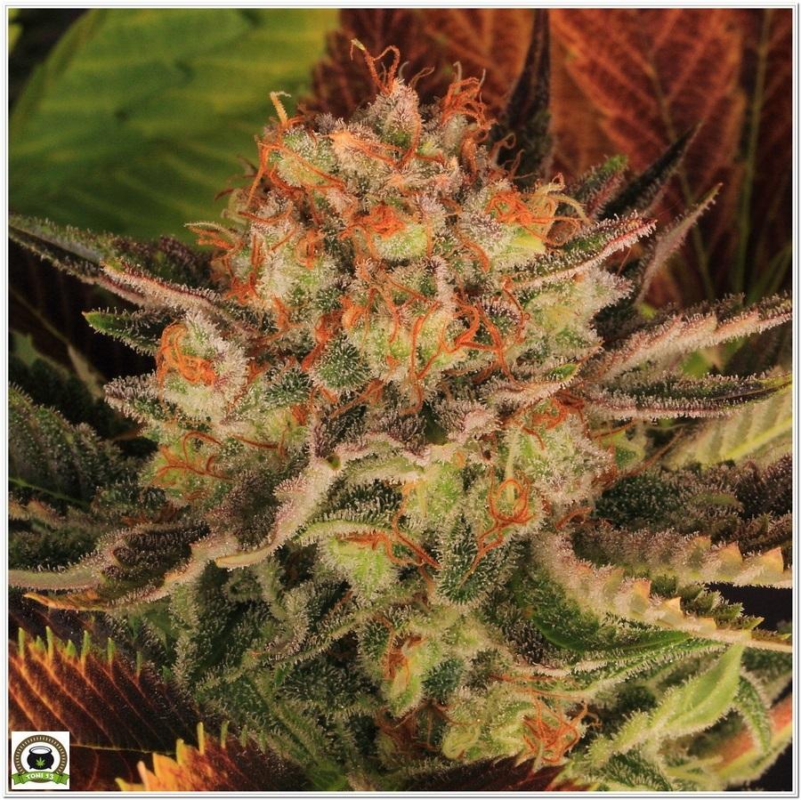 cultivo interior marihuana dos metros LED LEC 7